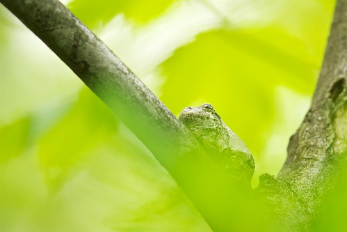 Gray Tree Frog in Early Spring