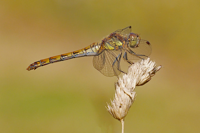 Sorry Another Darter