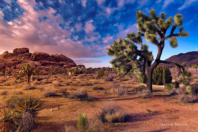 Digital Oil Painting of Joshua Trees in the Mojave Desert by Charles W. Bailey, Jr.
