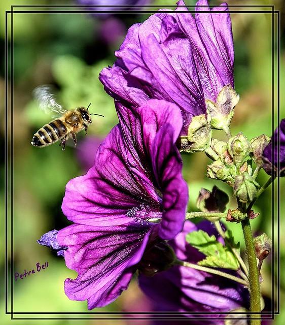 Bee approaching wild mallow 🐝