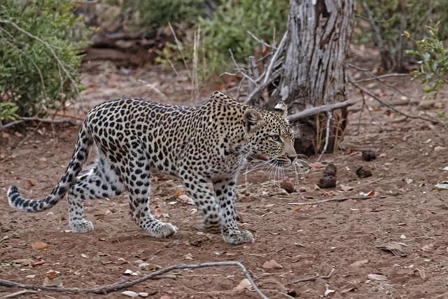 Leopard - Léopard
