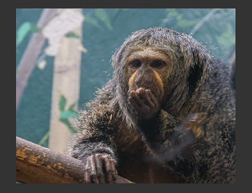 Screenshot of a White-Faced Saki monkey