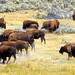 Les bisons Yellowstone