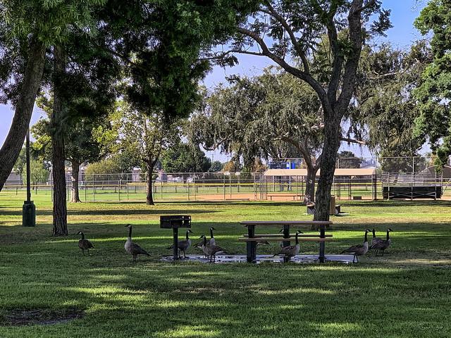 Geese in Furman Park