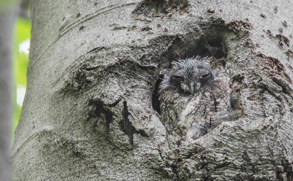Petit duc maculé/Eastern screech owl-_PM29755
