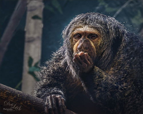 Image of a Female White Faced Saki at the Smithsonian National Zoo in DC