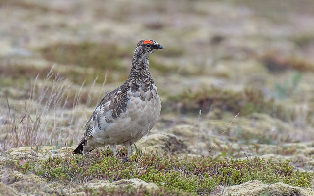 Rock Ptarmigan (male / breeding)
