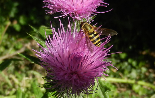 Hoverfly on Thistle DSCN9942c