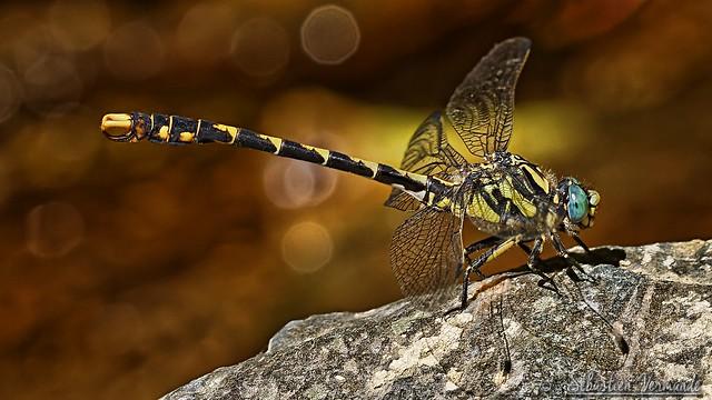 Onychogomphus forcipatus unguiculatus ♂- Gomphe à pinces méridional ♂