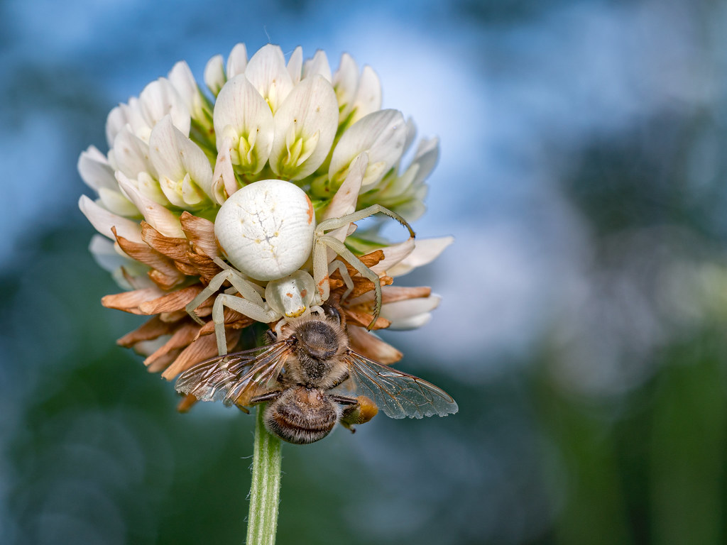 Misumena vatia ♀ with prey