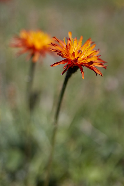 Crepis aurea (Golden Hawk's-beard)