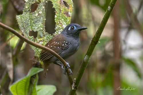 Chestnut-backed Antbird (Myrmeciza exsul)