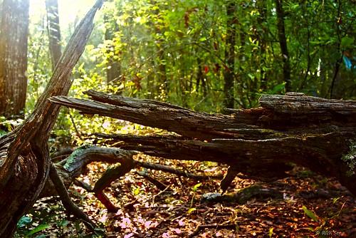 dawn florida forest leaves lumixg7 lumix20mmf17llasph nature woods outdoors sunrise