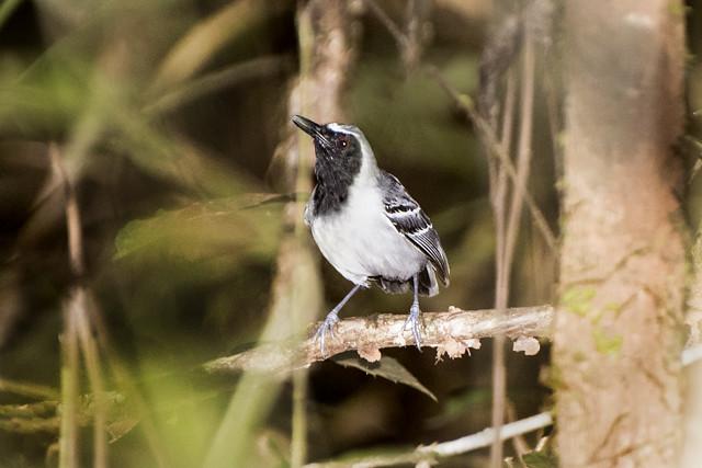Formigueiro-de-cara-preta (Myrmoborus myotherinus ochrolaemus) macho