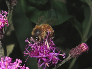 Honey Bee Feeding On Tall Ironweed Flowers IMG_3232