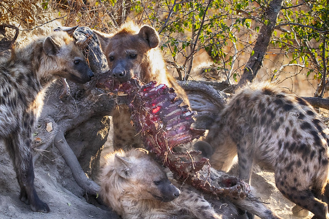 practising for hyena olympics - event 3, carcass carrying over any obstacle. Elephant Plains Game Lodge, Sabi Sand Game Reserve, Kruger National Park, South Africa.