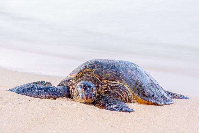 Sleeping sea turtle, Kauai, Hawaii