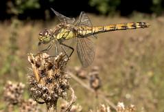 Dragonfly cu