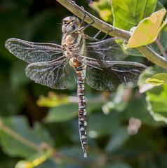 Dragonfly cu 2