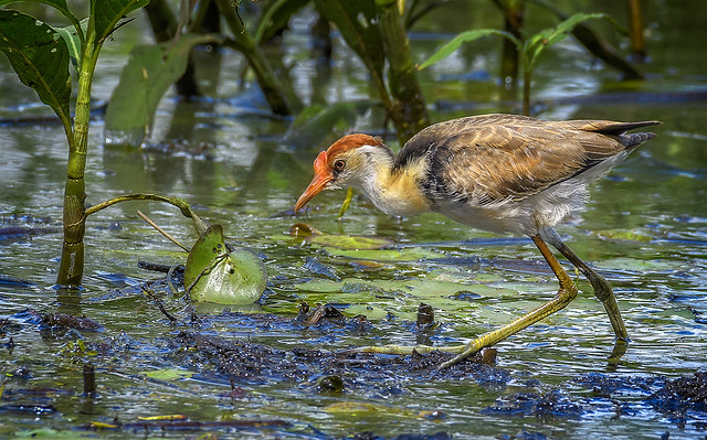 the wetlands - in the thick of it (Accepted (Accepted Accepted 2019 APS National Exhibition Nature Open Nature Section)