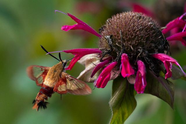 Clearwing Hummingbird Moth -0248