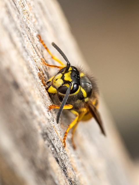 Yellowjacket wasp collecting wood fiber