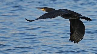 Dílaskarfur - Cormorant