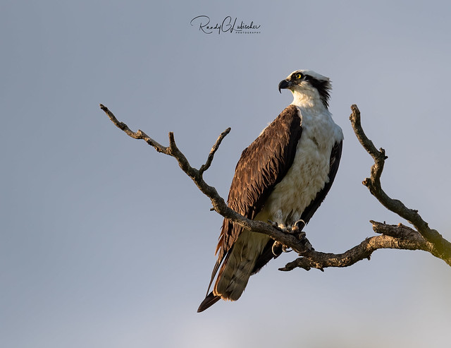 Osprey of the Jersey Shore | 2019 - 26