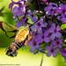 Hummingbird Moth (20190824-DSC02915)