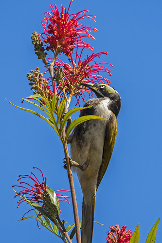 Blue faced Honeyeater Juvenile (1) | by bidkev1 and son (see profile)