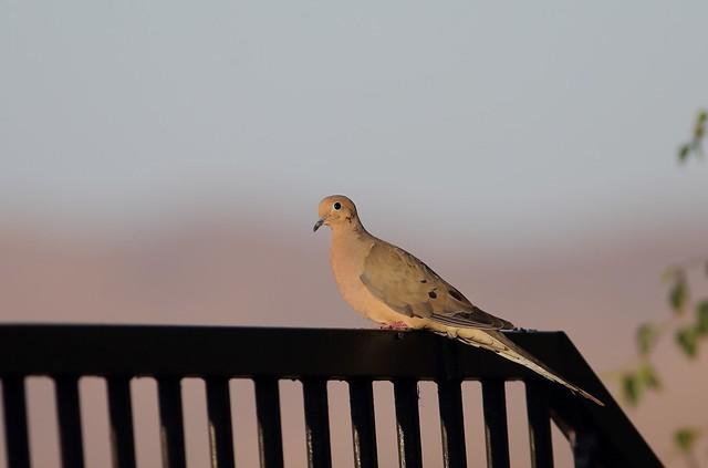 EOS-1D X1478 Sunset in California. Mourning Dove in my backyard. Corona, California USA