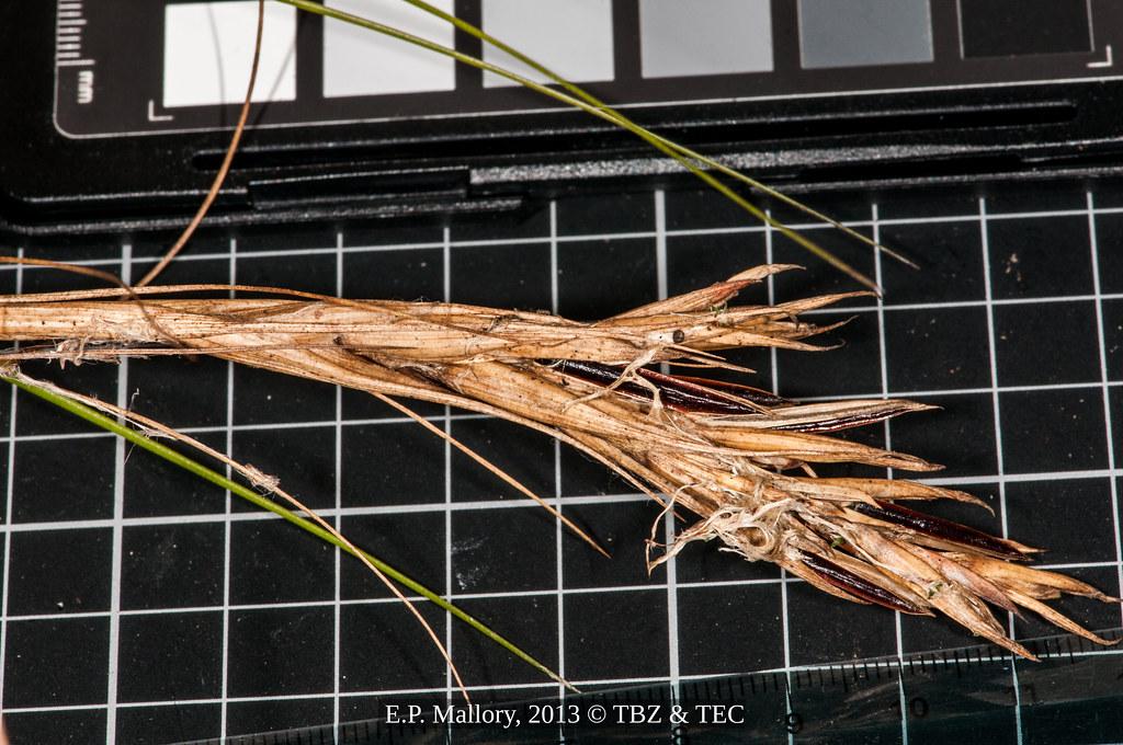 2013-08-01 TEC-2388 Tillandsia sp. - E. P. Mallory
