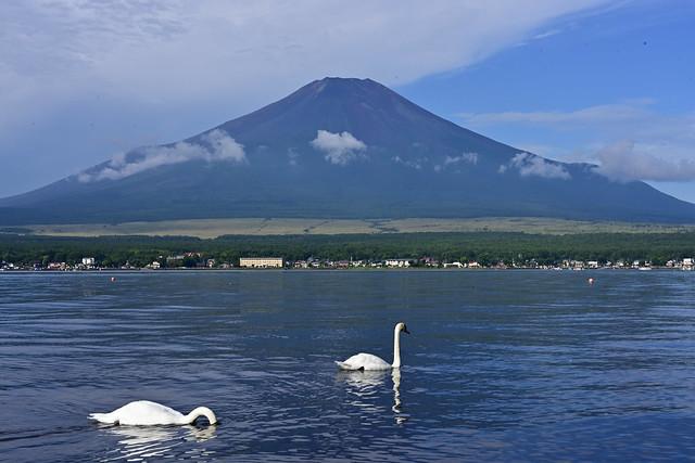 Mt.Fuji and swan from the banks of Lake Yamanakako