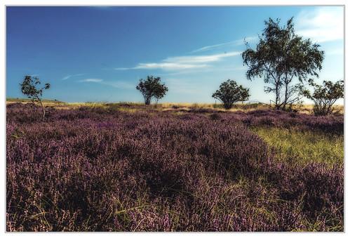 Heidelandschaft auf Hiddensee