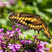 Giant Swallowtail (20190824-DSC03134)