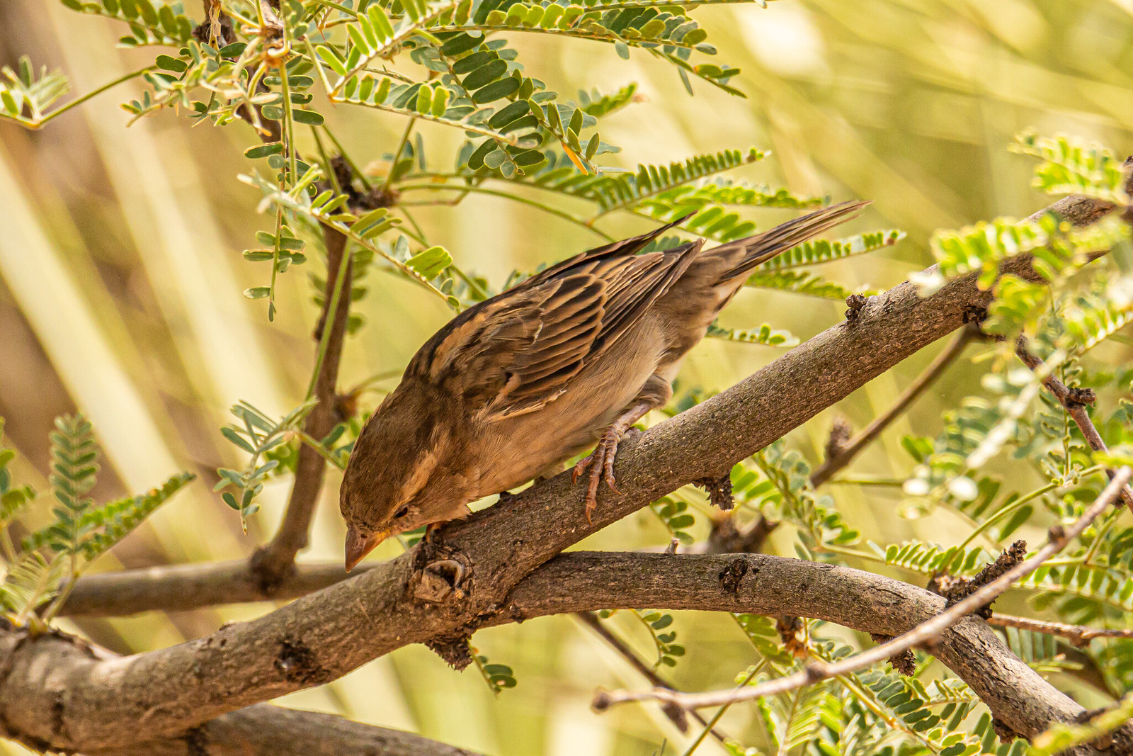 House sparrow in mesquite