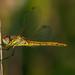 Frühe Heidelibelle - Red-veined Darter - Sympetrum fonscolombii