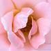Pink Rose (I), 6.2419