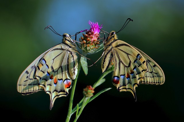 Swallowtails together