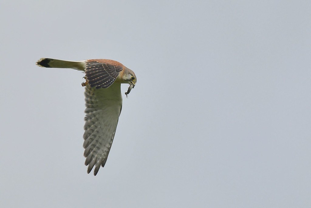 Nankeen Kestrel ( take away )