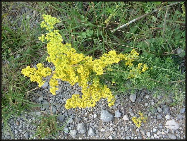 Galium verum, Lady's bedstraw, Yellow bedstraw, Frigg's grass, Prava broćika, Ivanjsko cvijeće, 7237 Bot, 7.VIII.2019., Gumanac, Klana,