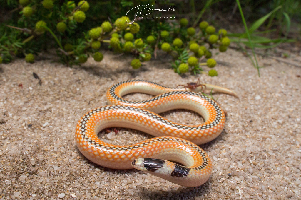Black Striped Snake