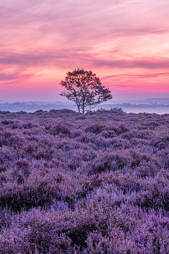 common fuji fujifilm heather norfolk purpleflowers roydon roydoncommon sunrise tree kingslynn england unitedkingdom