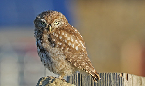 "Little Owl Learning The ""Look """