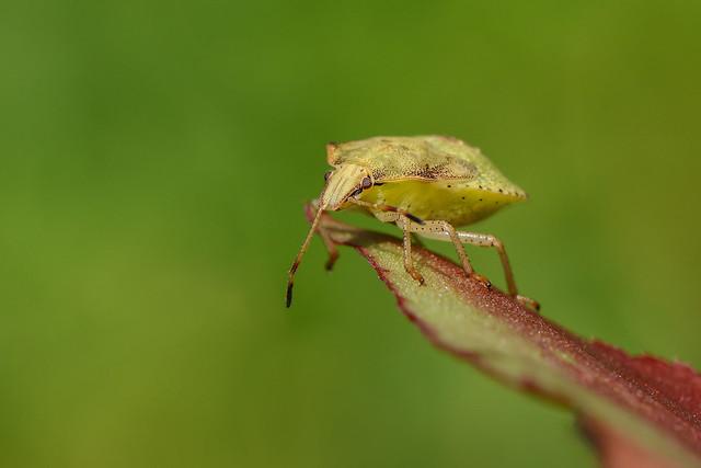 Punaise/Bug