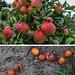 Äpfel vom Bodensee, Äpfel am Boden