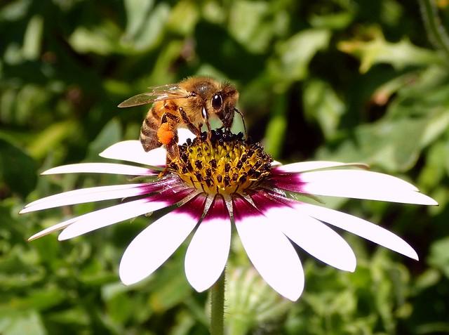 Hive Provider. Apis mellifera, Honeybee, on African Daisy, Osteospermum, Hortus Botanicus, Amsterdam, The Netherlands