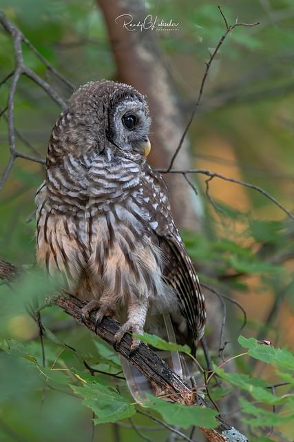 Barred Owl - Strix varia   2019 - 25