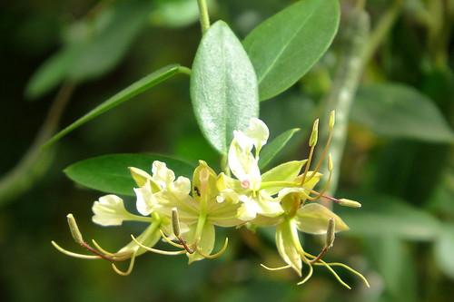 IMG_0083  Cadaba fruticosa, Indian Cadaba