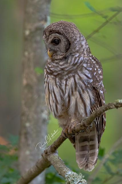 Barred Owl - Strix varia   2019 - 26